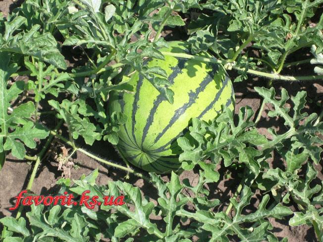Сорт арбуза Херсонский. Начало созревания